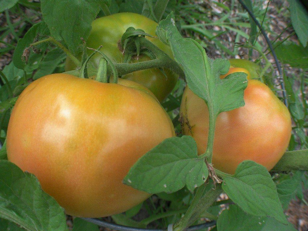 Beefsteak Tomato Plant  Planting Beefsteak Tomatoes How To Grow Beefsteak Tomatoes