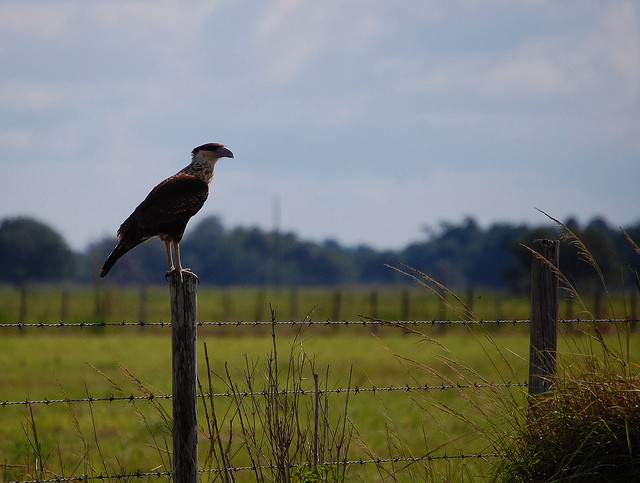 Dinner Island Ranch  Crested Caracara Dinner Island Ranch WMA Florida
