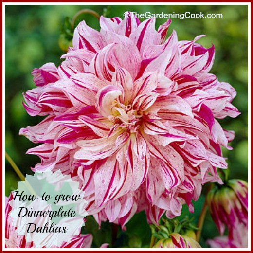 Dinner Plate Dahlia  Dinner Plate Dahlias are Sure to be the Stars of your