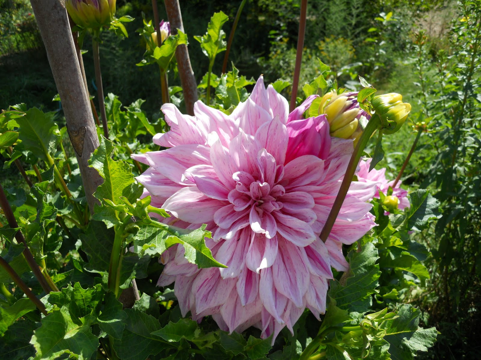 Dinner Plate Dahlias  A Year In The Garden Dinner Is Served