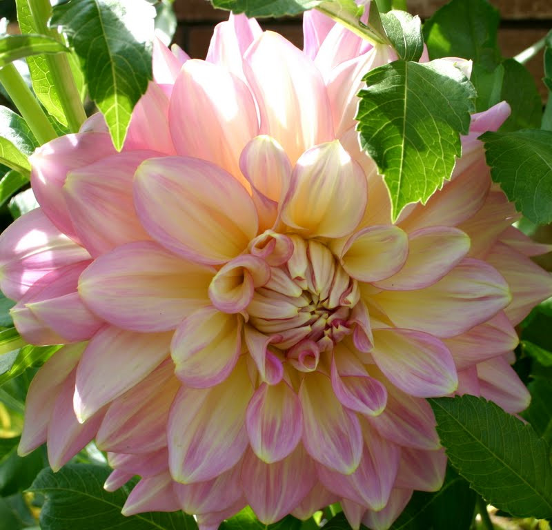 Dinner Plate Dahlias  GIANT DINNER PLATE DAHLIAS WELL WORTH THE WAIT Sowing