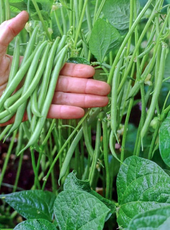 Green Bean Plant  11 Ve ables to Plant in March Zone 9 • Brown Thumb Mama
