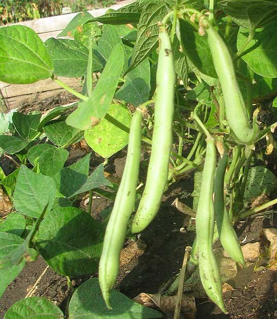 Green Bean Plant  Green Beans PHASEOLUS VULGARIS