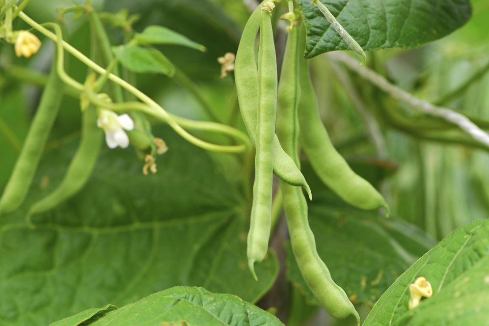 Green Bean Plant  The Best panion Plants for Pole Beans and Bush Beans