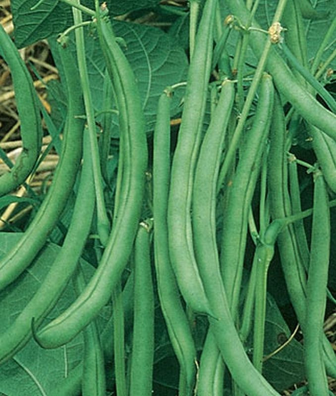 Green Bean Plant  Contender Green Bean Seeds Huge yields of excellent