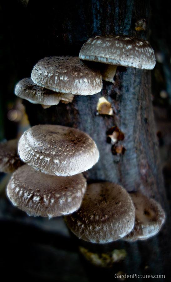 Growing Shiitake Mushrooms  Growing Shiitake Mushrooms Logs – Garden