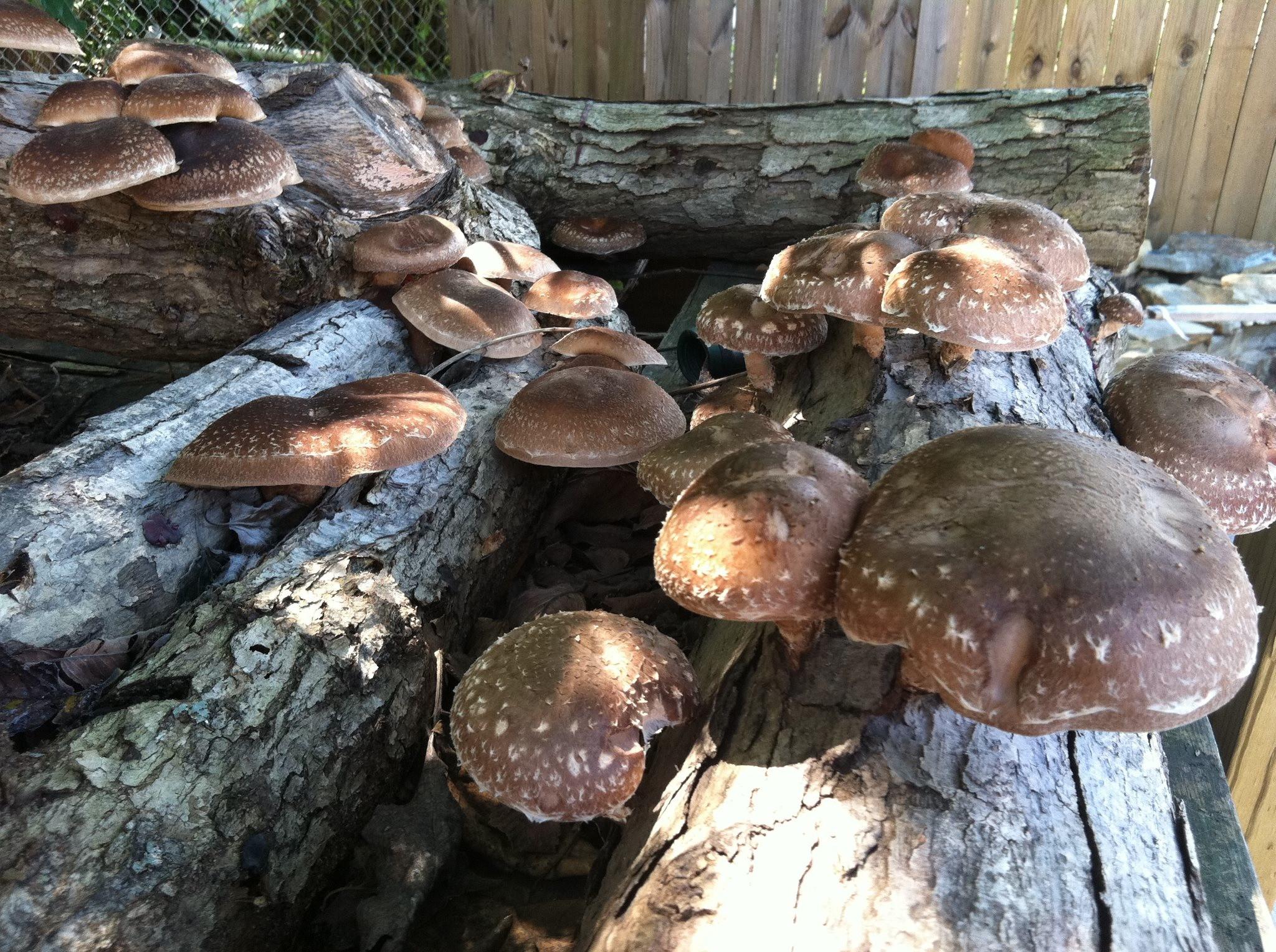 Growing Shiitake Mushrooms  Mushroom Cultivation Good books for Aussies Milkwood