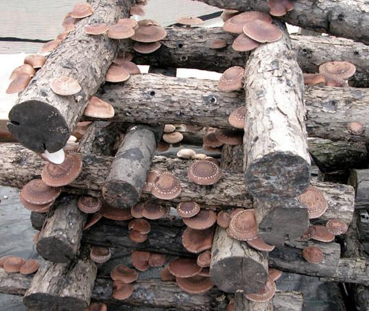 Growing Shiitake Mushrooms  Growing Shiitake Mushrooms is Easier Than You Think