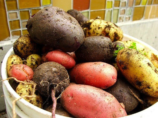 History Of The Potato  Natural History of the Kitchen The Potato – Eat Me Daily