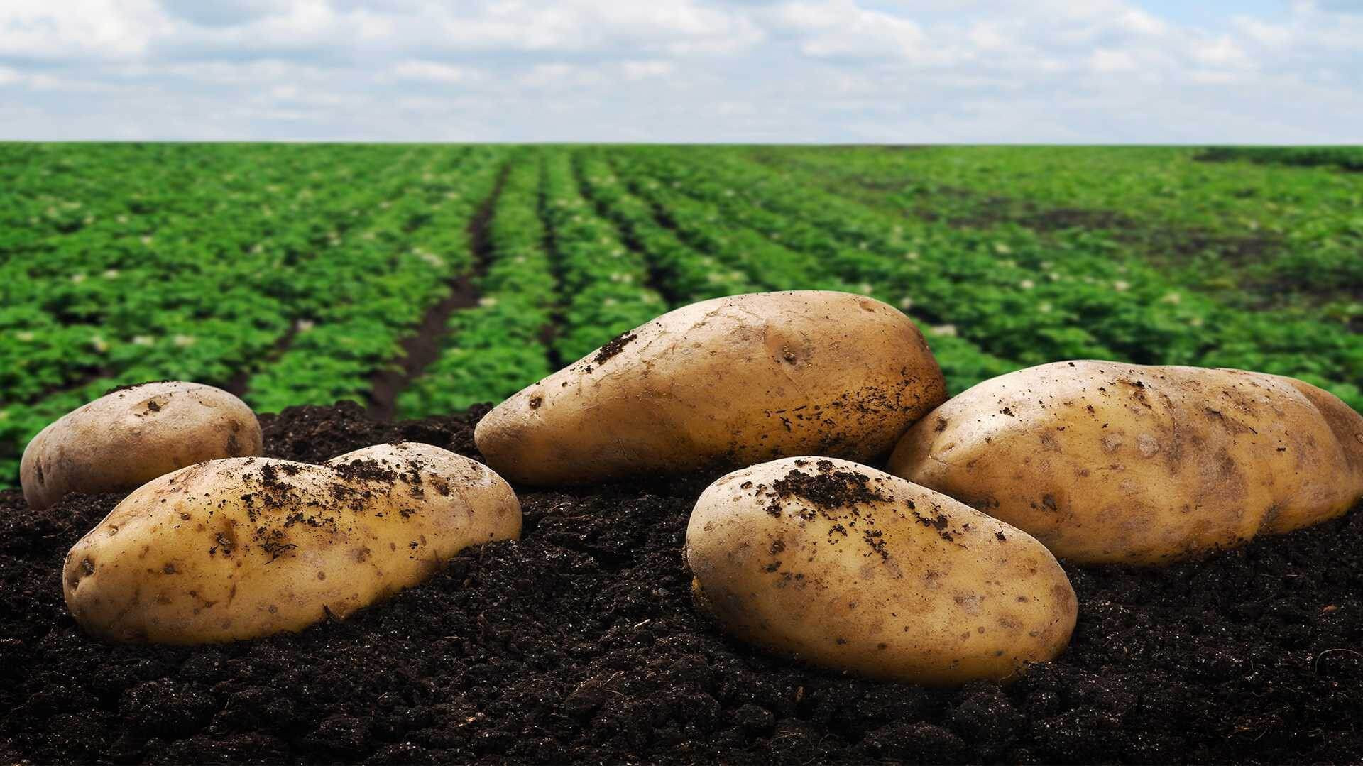 History Of The Potato  Prepared Potato Products The History of Potatoes