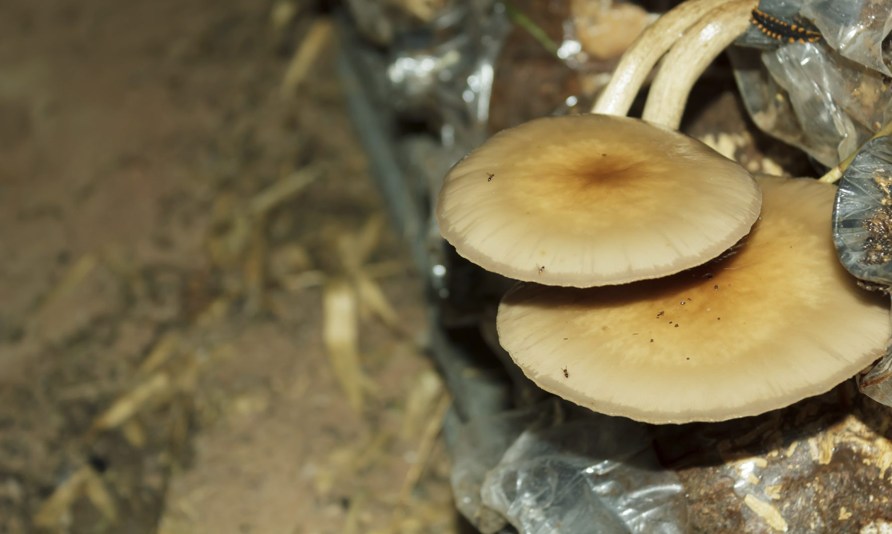 How To Grow Oyster Mushrooms  Growing Oyster Mushrooms Learn About The Cultivation