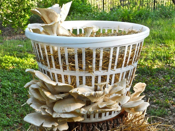 How To Grow Oyster Mushrooms  How Simple It Is To Grow Mushrooms Step By Step 1 5