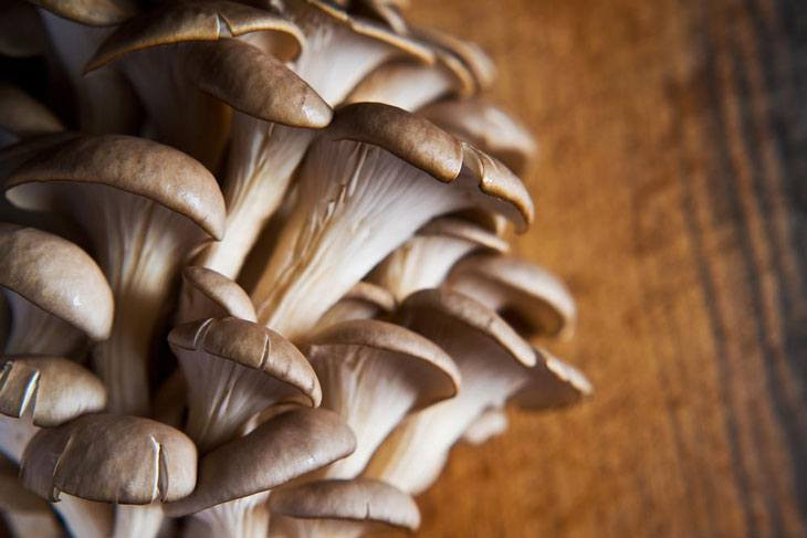 How To Grow Oyster Mushrooms  How to Grow Oyster Mushrooms The Basic Knowledge You Need