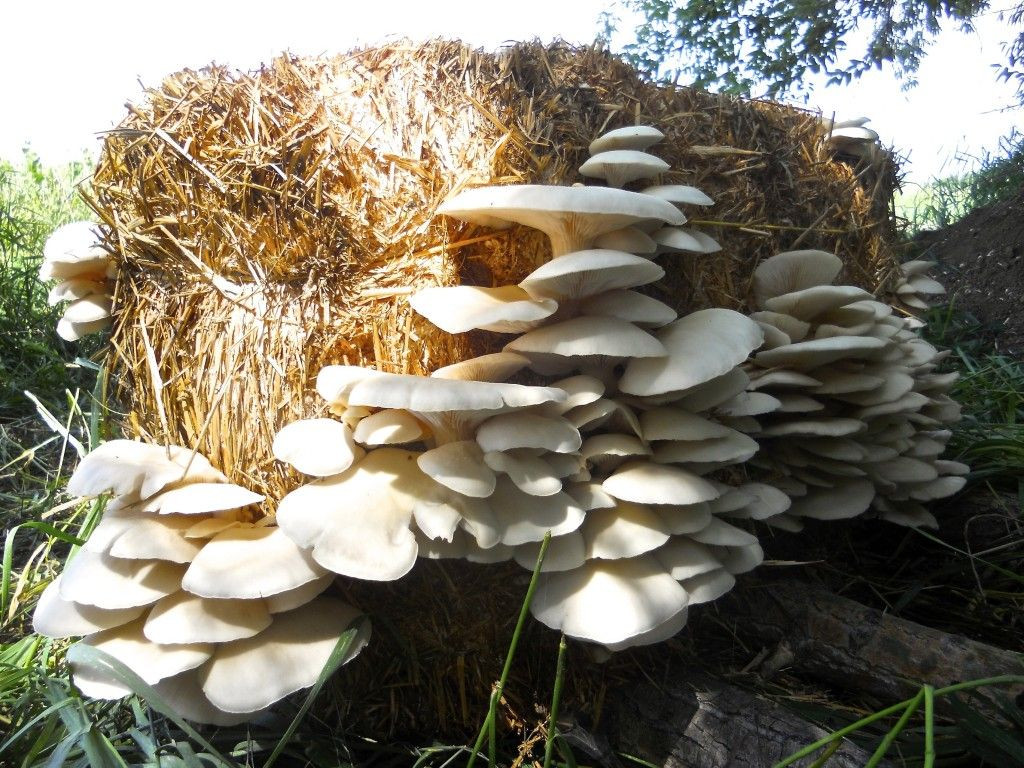 How To Grow Oyster Mushrooms  Growing mushrooms in straw bales straw makes the perfect