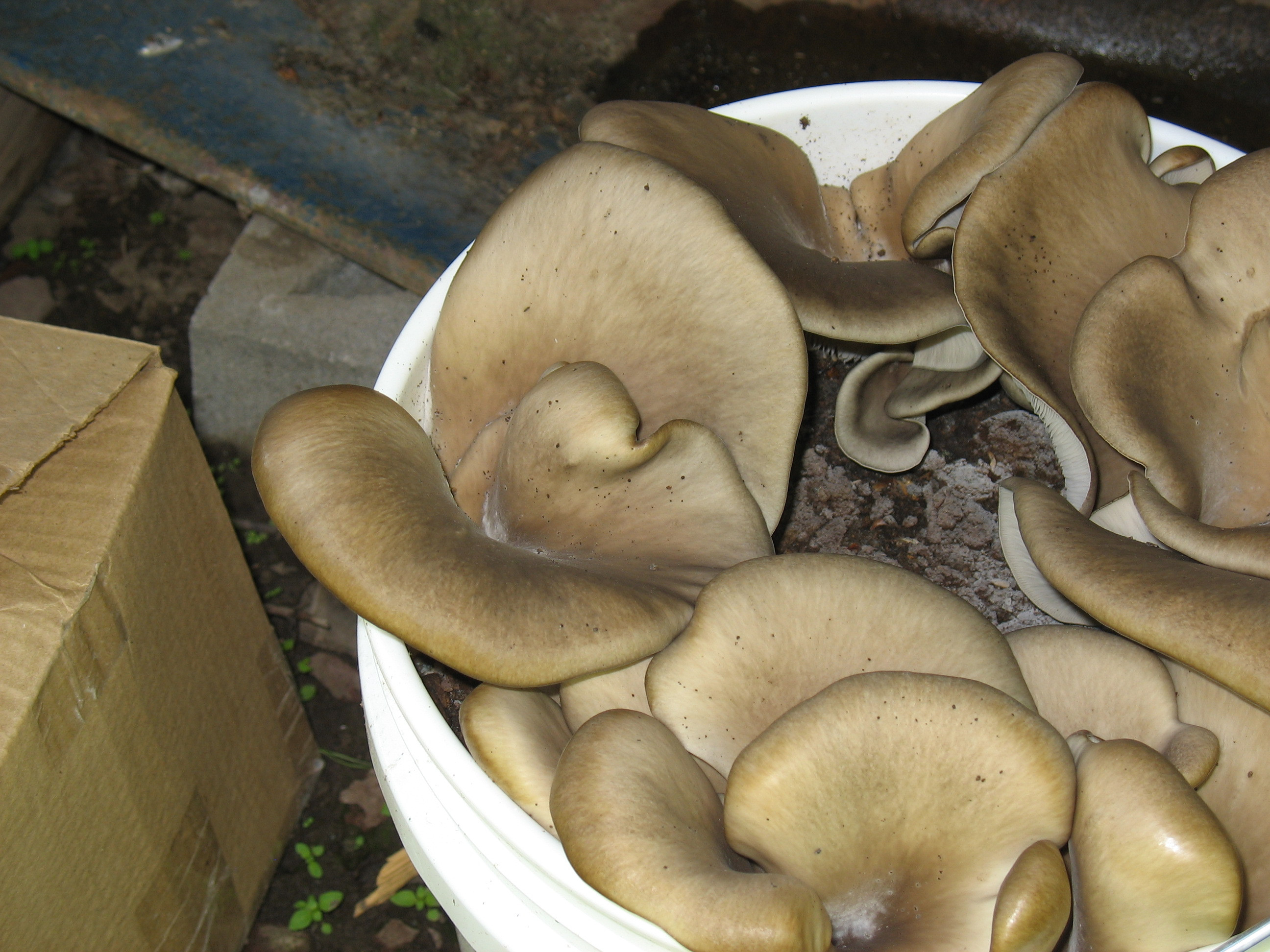 How To Grow Oyster Mushrooms  Oyster Mushrooms Coffee Grounds
