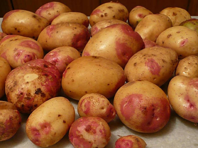 King Edward Potato  Seed Potato Grow Your Own King Edward Potatoes
