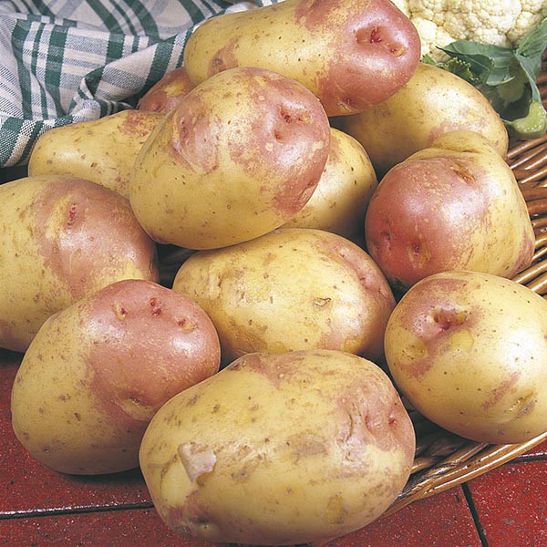 King Edward Potato  Potato Maincrop King Edward from Mr Fothergill s Seeds