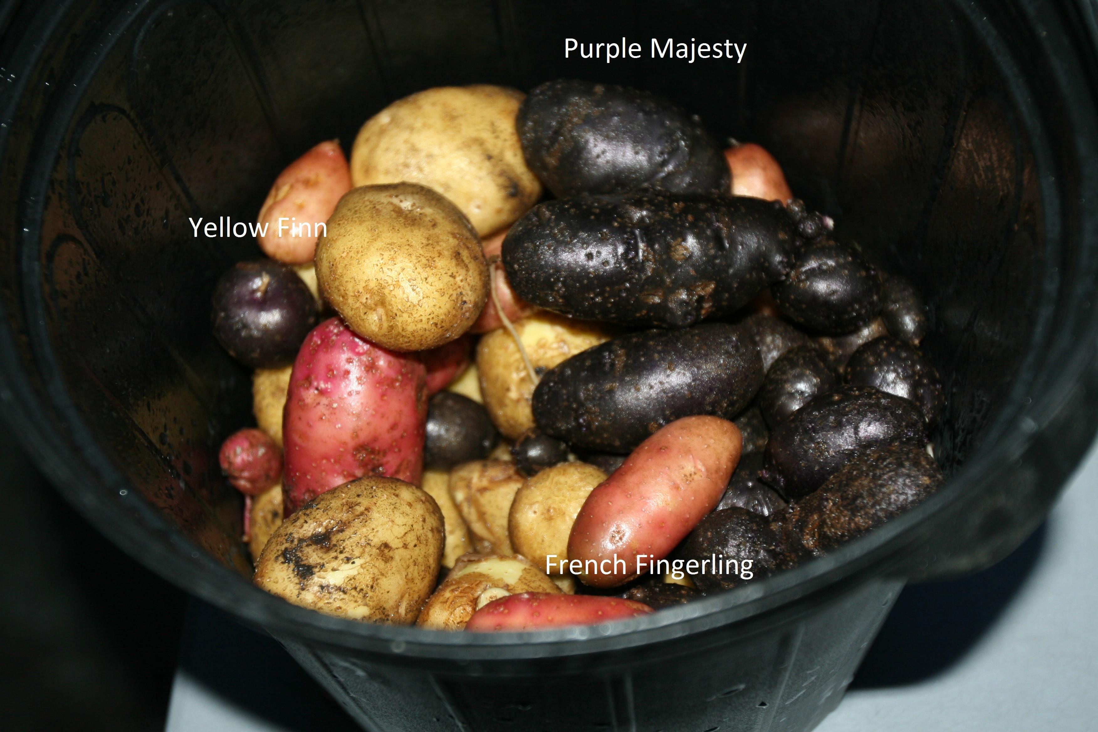 Maine Potato Lady  The Maine Potato Lady General Gardening Growing Fruit