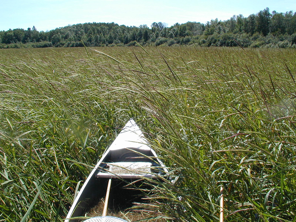 Minnesota Wild Rice  Canoe and Minnesota wild rice