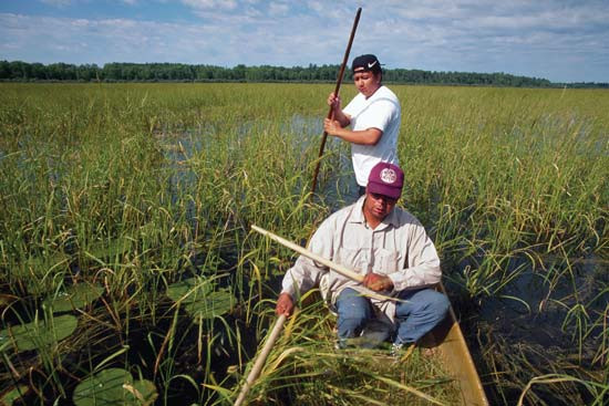 Minnesota Wild Rice  Wild rice plant
