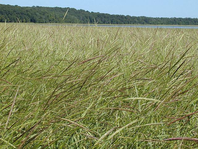 Minnesota Wild Rice  Minnesota State Grain