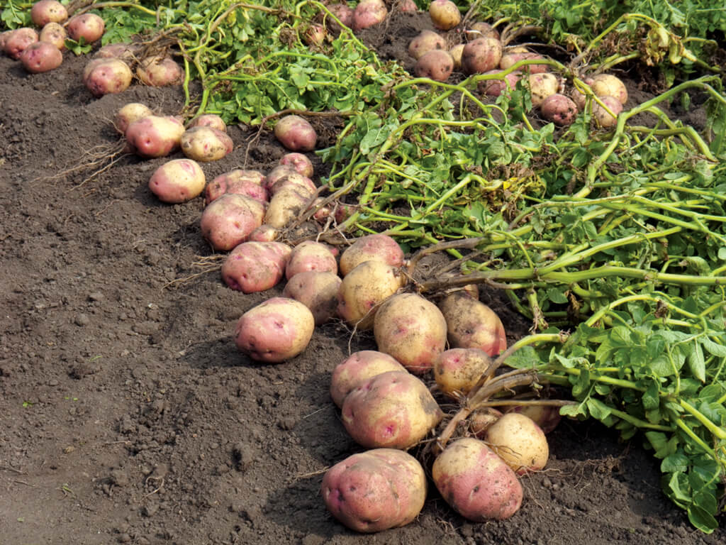 Potato A Vegetable  How to Grow Potatoes Plant Instructions