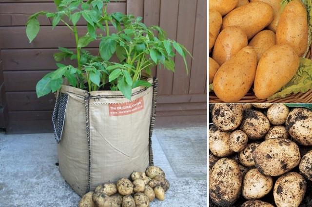 Potato Grow Bags  How To Grow Potatoes In Planter Bags Sacks… – Eco Snippets