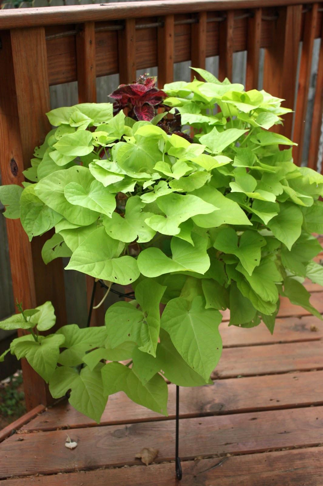 Potato Vine Plant  The Edgy Gardener Blog July s Container Gardens