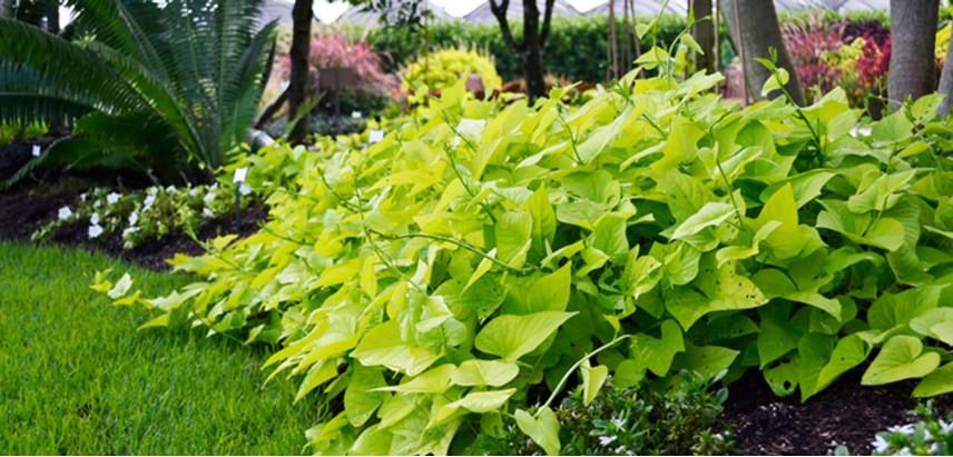 Potato Vine Plant  Sweet Potato Vine