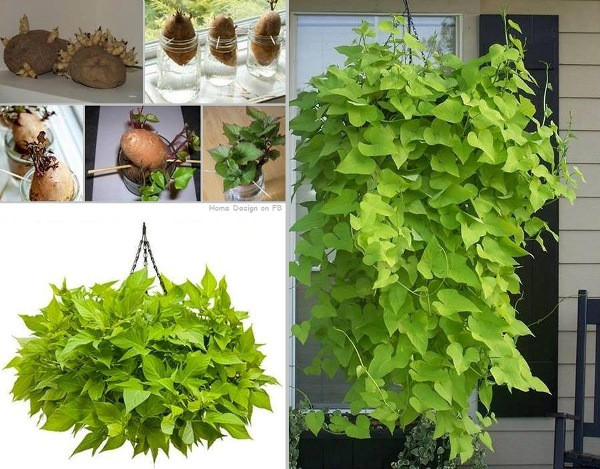 Potato Vine Plant  How to Grow A Potato Vine Plant