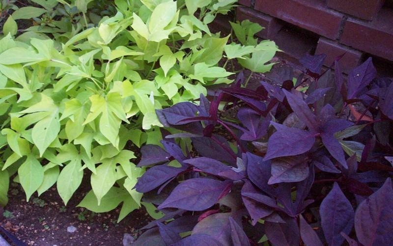 Potato Vine Plant  Blast Away Your Winter Blues
