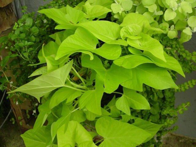 Potato Vine Plant  PlantFiles Ornamental Sweet Potato Sweet Potato