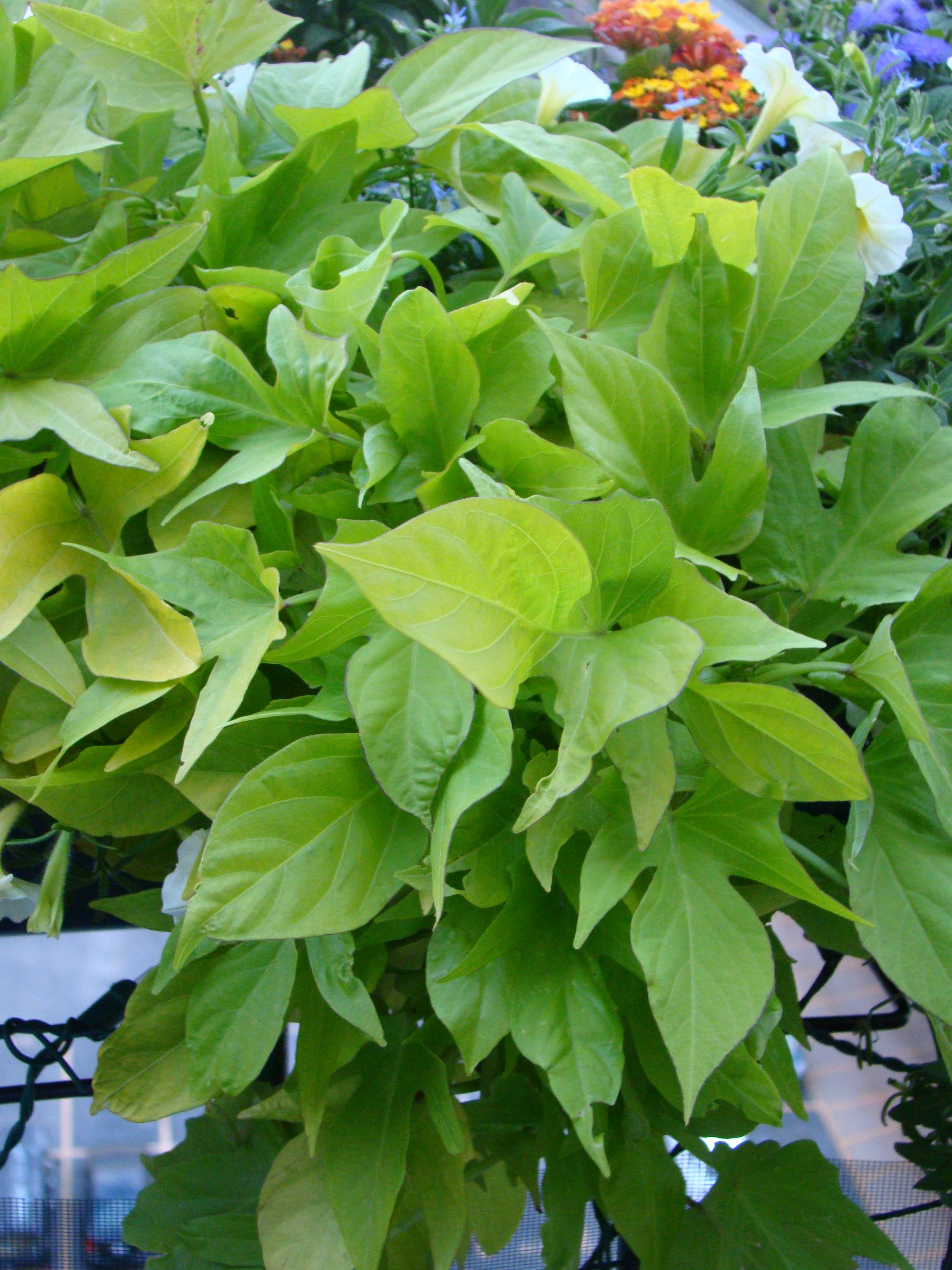 Potato Vine Plant  A tale of two sweet potato vines – healthy growth inside