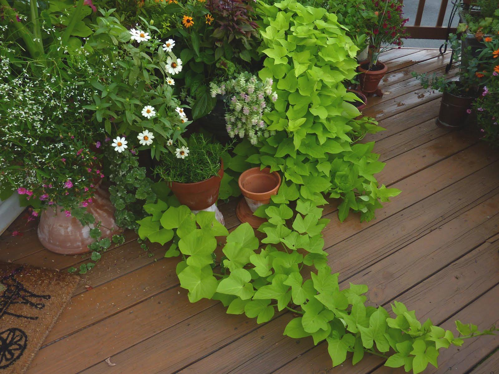 Potato Vine Plant  Flat Bottom Flowers Spillover