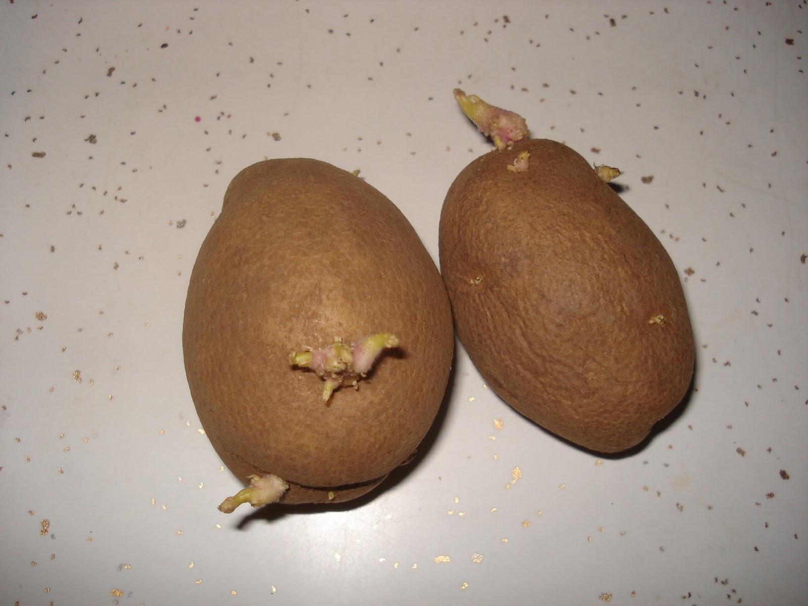 Potato With Eyes  When Life Gives You Kudzu Potato Eyes