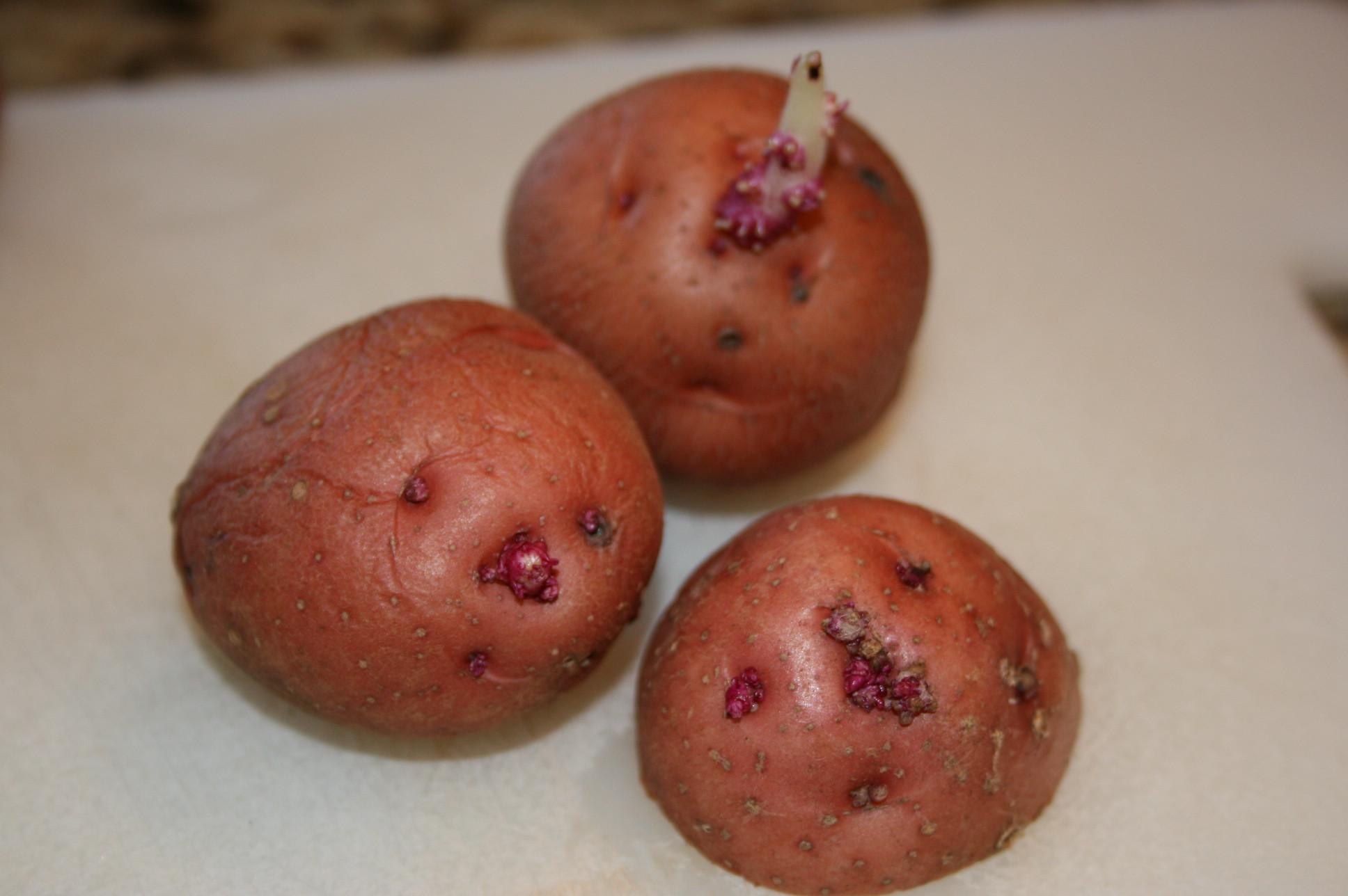 Potato With Eyes  potato seeds