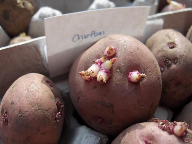 Potato With Eyes  seed potato eyes
