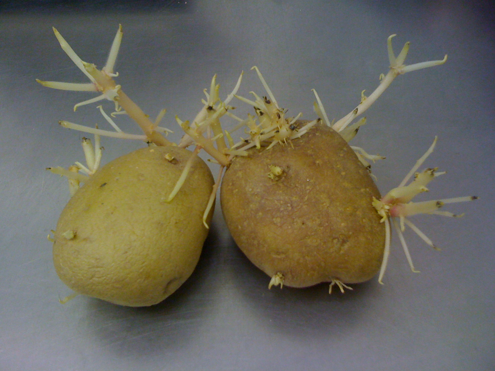 Potato With Eyes  potato eyes – Barnstorming