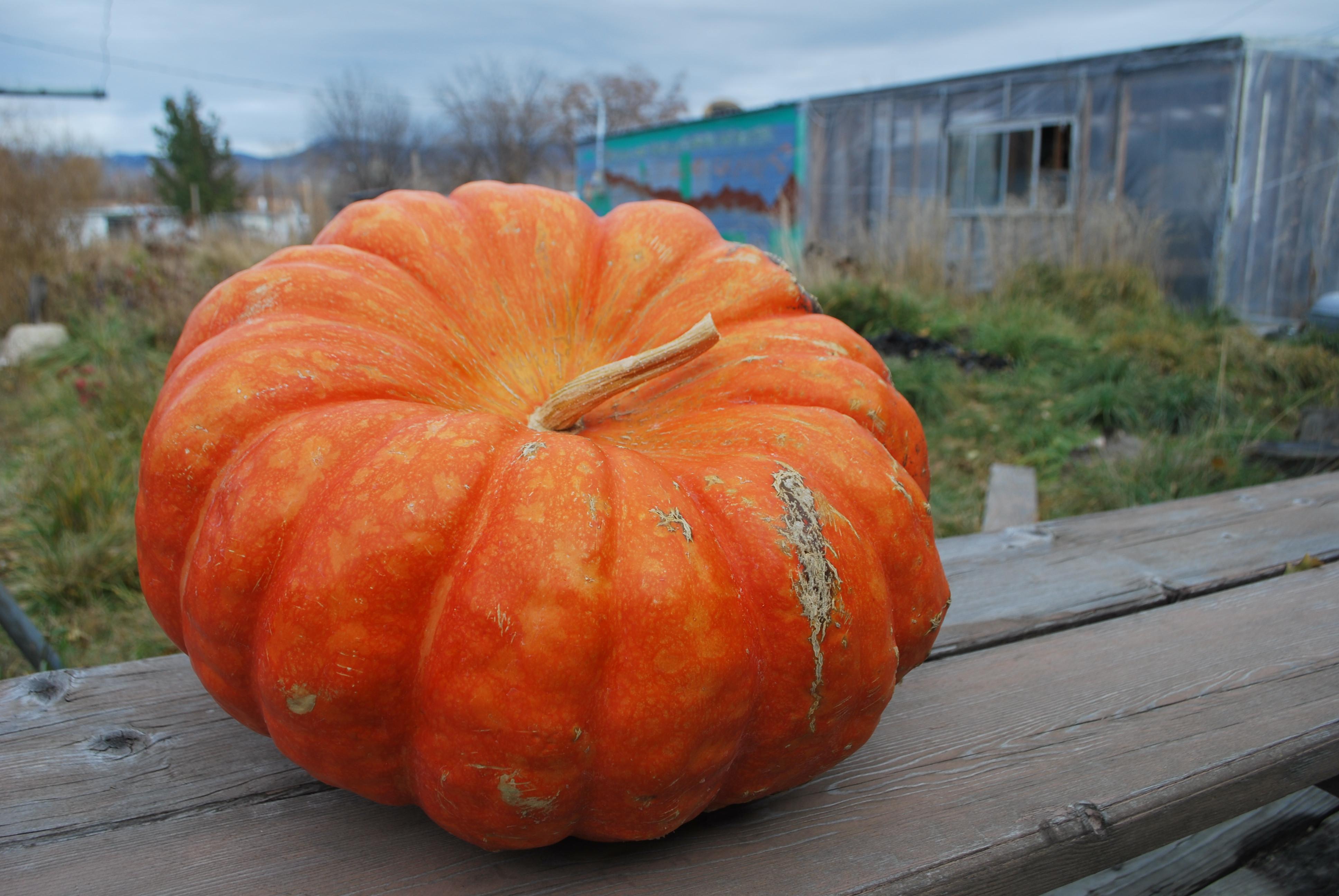 Pumpkin Pie Recipe With Real Pumpkin  Pumpkin Pie from a Real Pumpkin