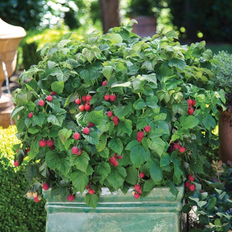 Raspberry Shortcake Plant  Bushel and Berry™ Raspberry Shortcake™ Plants Stark Bro