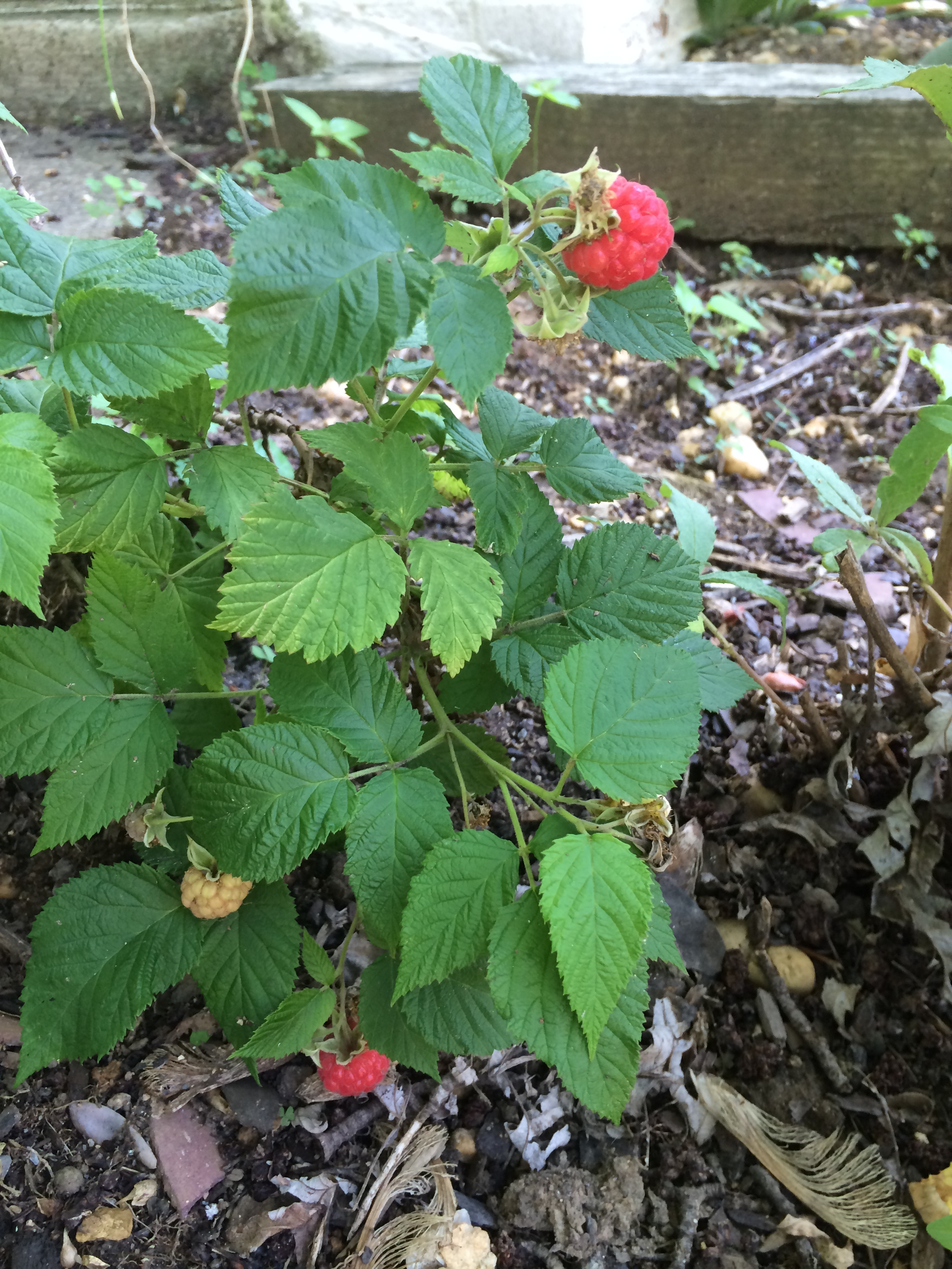 Raspberry Shortcake Plant  Raspberry Shortcake