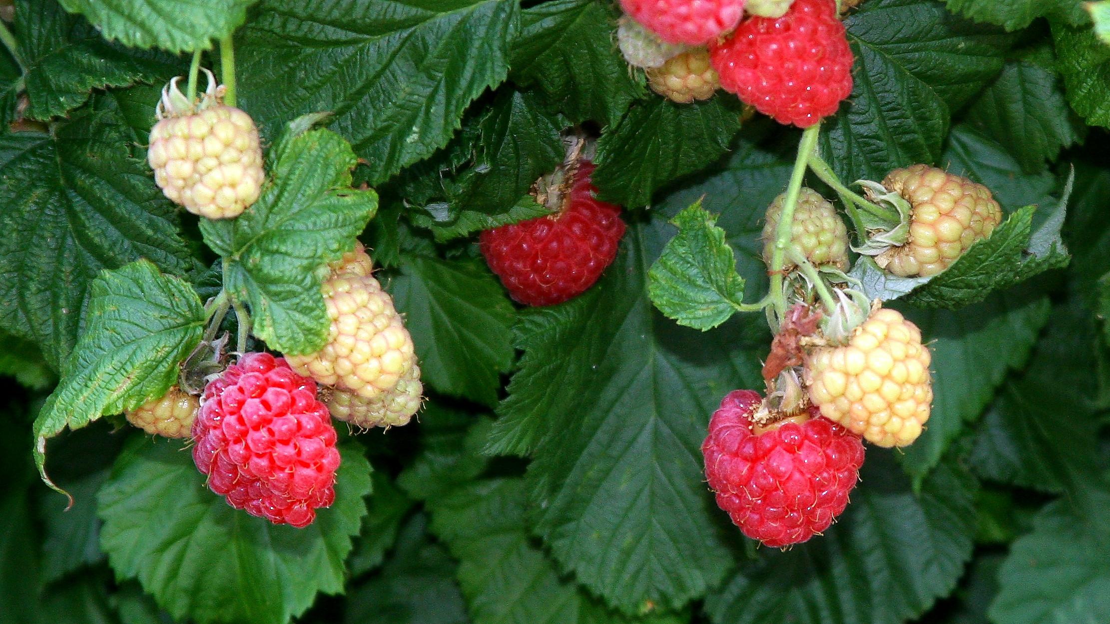 Raspberry Shortcake Plant  Short Plump & Juicy – meet the BrazelBerries