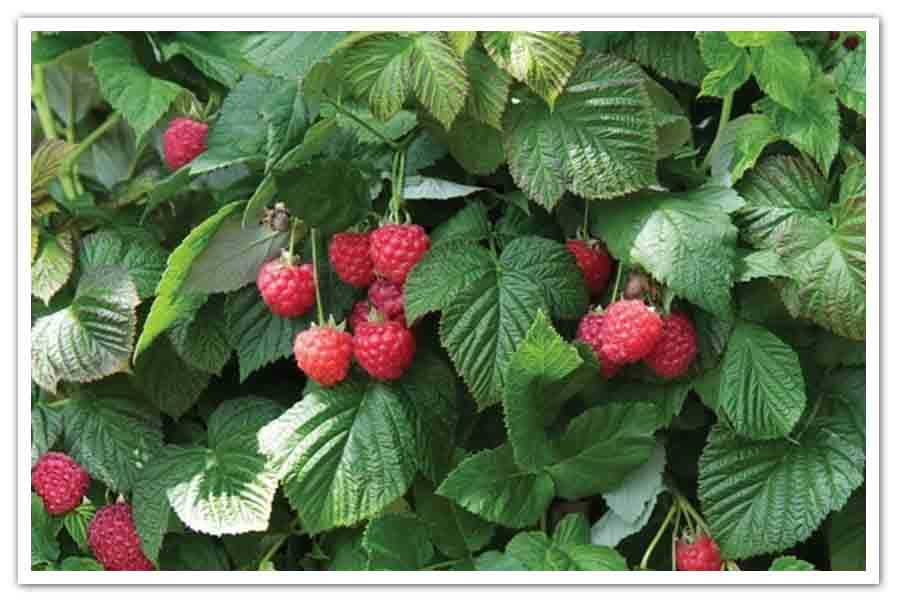 Raspberry Shortcake Plant  Raspberry Shortcake – Bushel and Berry