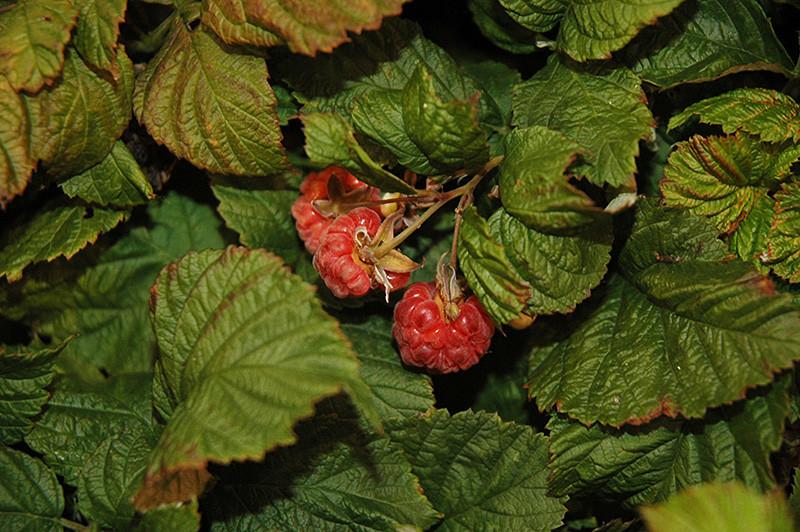 Raspberry Shortcake Plant  Raspberry Shortcake Raspberry Rubus NR7 in