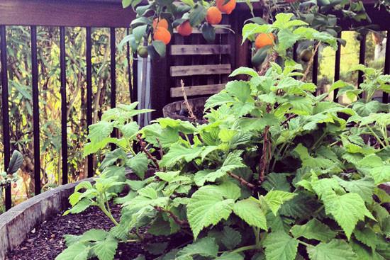 Raspberry Shortcake Plant  Garden Journal Raspberry Shortcake in a Half Wine Barrrel