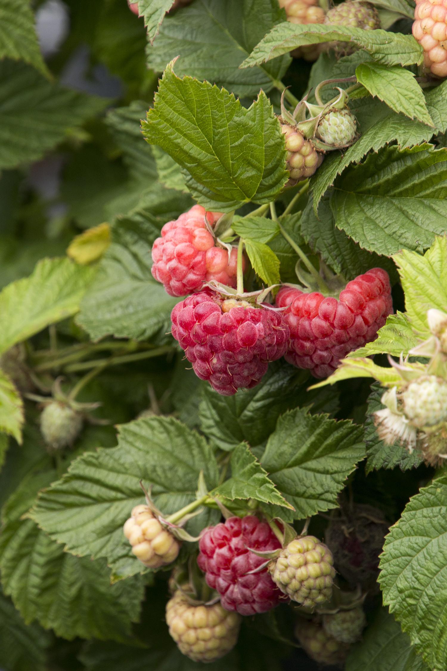 Raspberry Shortcake Plant  Grobe s Nursery and Garden Centre Newest Fruit
