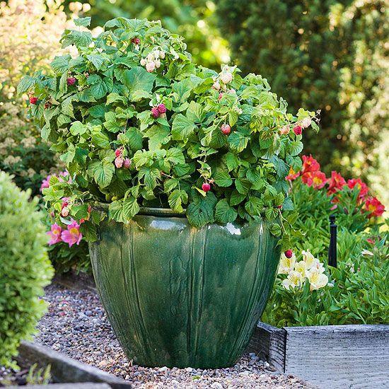 Raspberry Shortcake Plant  Pinterest • The world's catalog of ideas