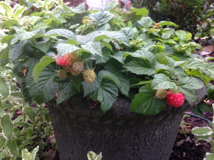 Raspberry Shortcake Plant  BrazelBerries Raspberry Shortcake™ dwarf thornless