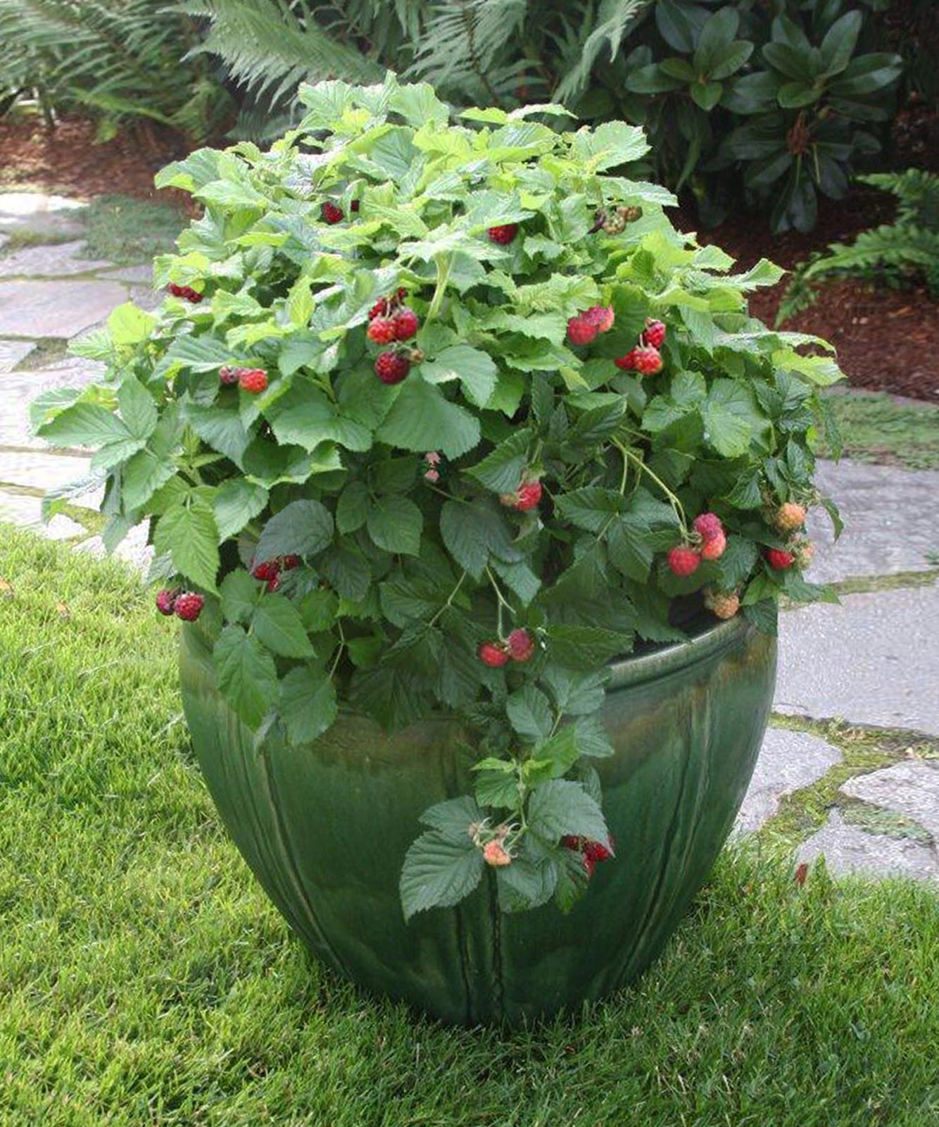 Raspberry Shortcake Plant  The Garden Plot The Next Big Thing Raspberry Shortcake