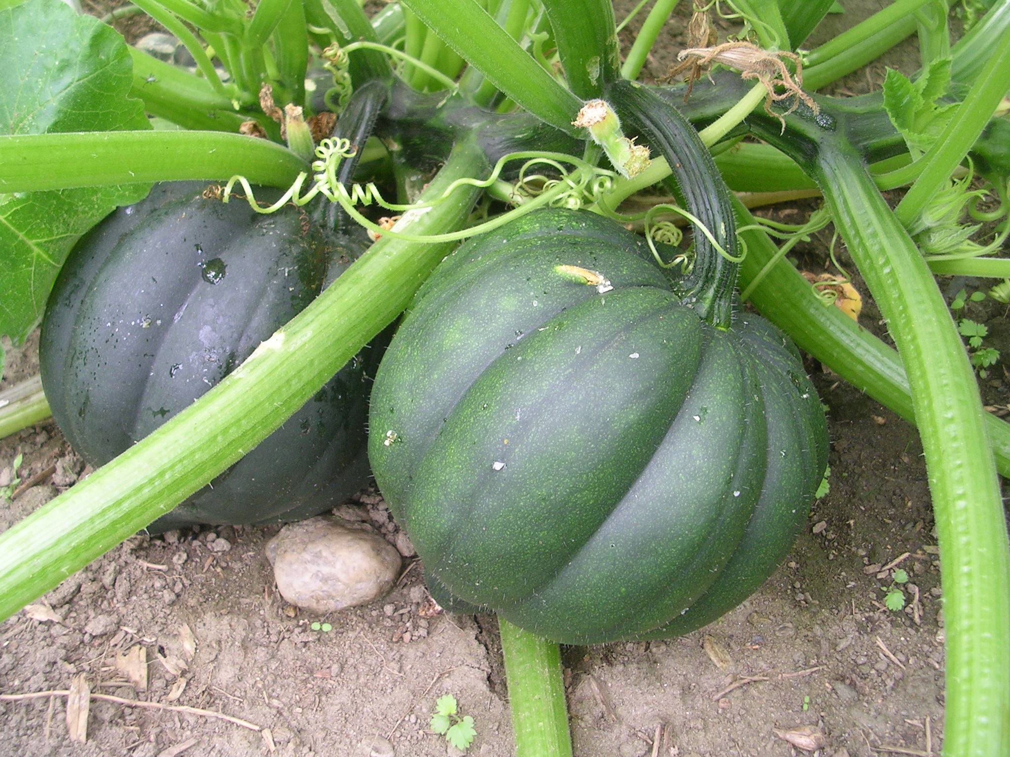 Squash Fruit Or Vegetable  How to Grow Squash A Gardening Guide Plant Instructions